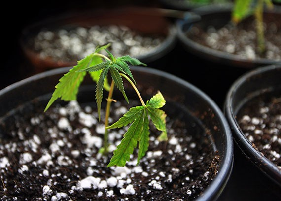 Do you know that you can produce your own Cannabis/Marijuana for medical purposes?